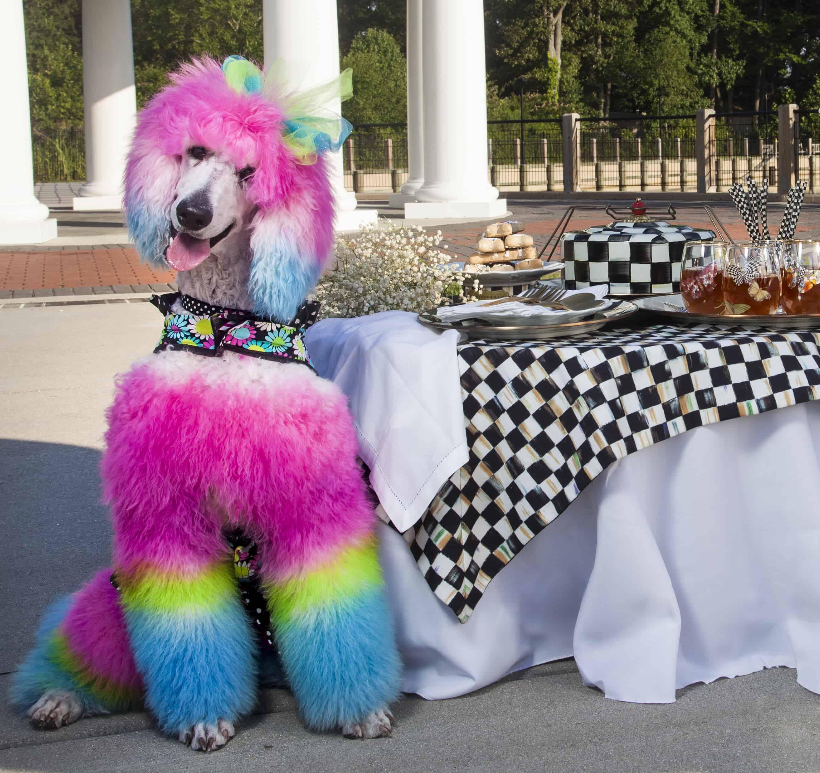 rainbow poodle