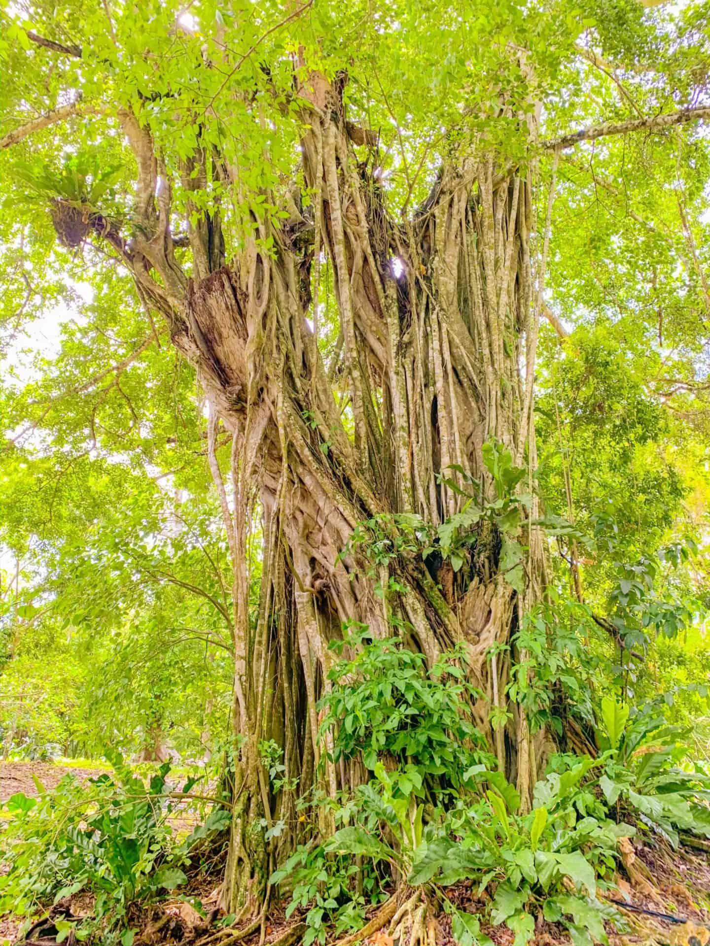 Lamanai Trees in Belize | Shaunda Necole