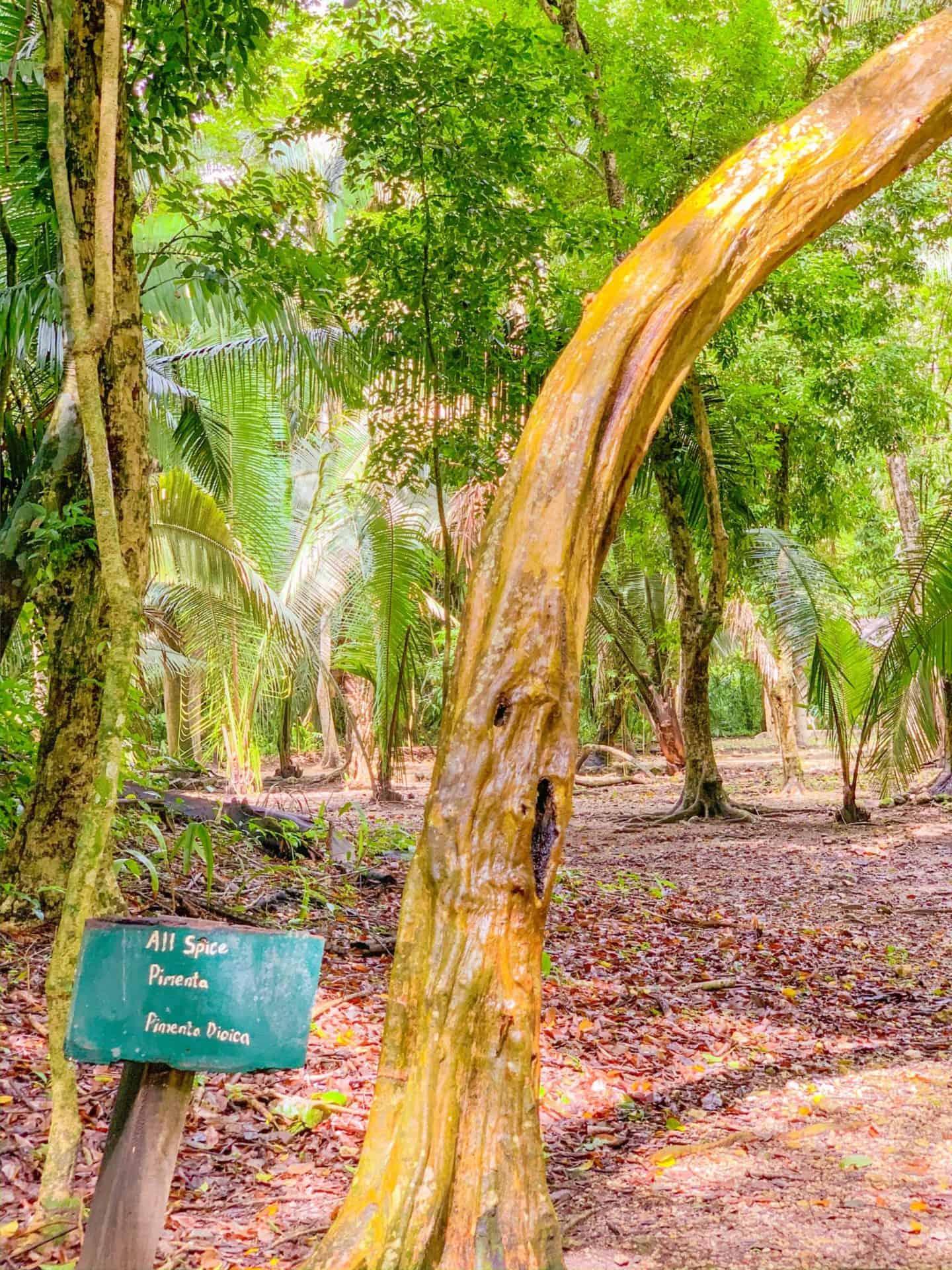 All Spice Plant in Belize | Shaunda Necole