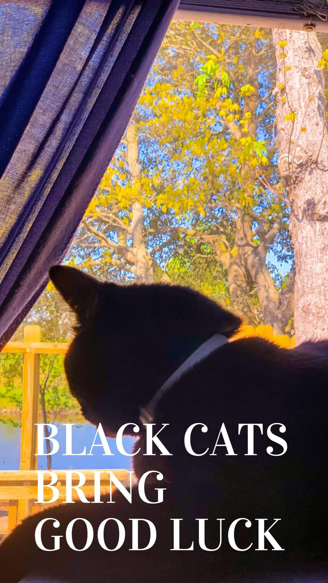 black cats looking out the window