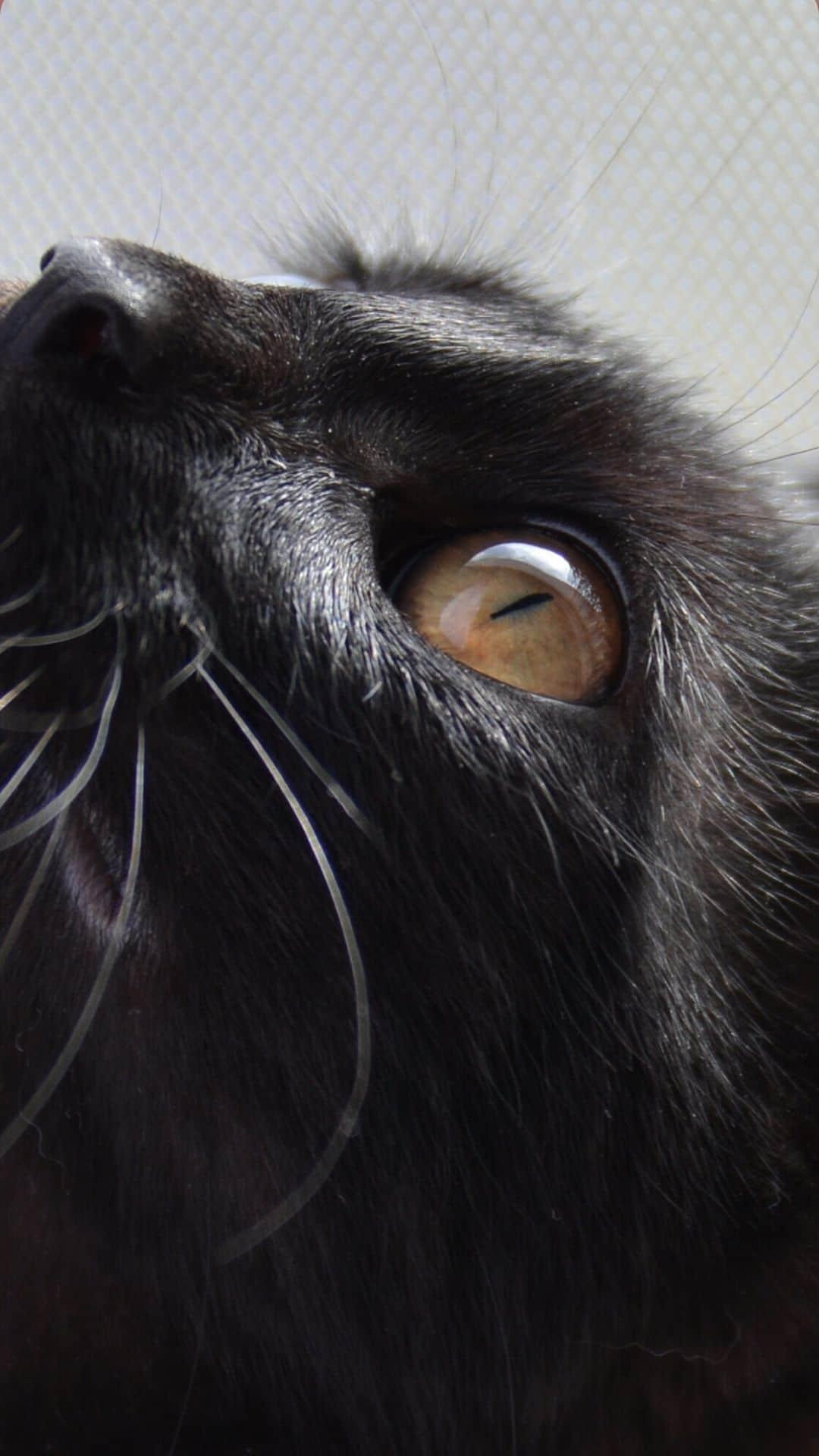 iPhone Regal Black Cat Wallpaper