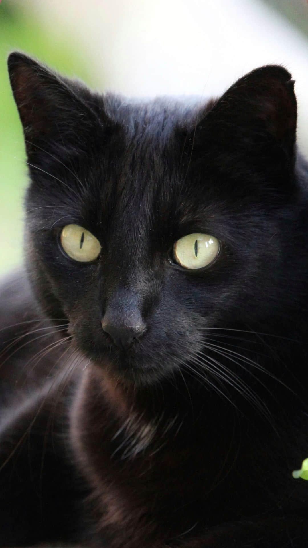 iPhone Beautiful Black Cat Wallpaper