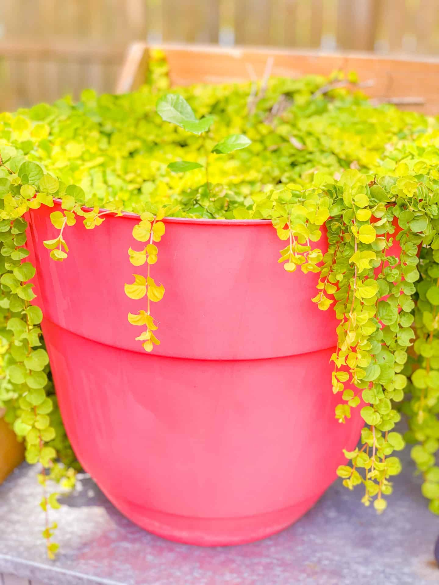 Best Ground Cover Plants Creeping Jenny