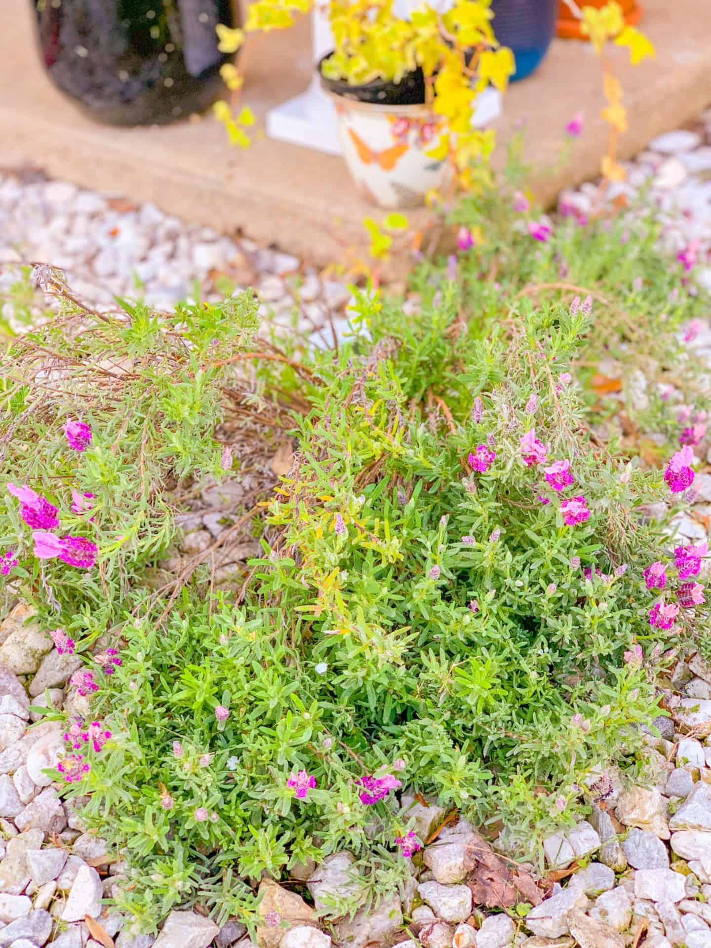 Best Ground Cover Plants Lavender
