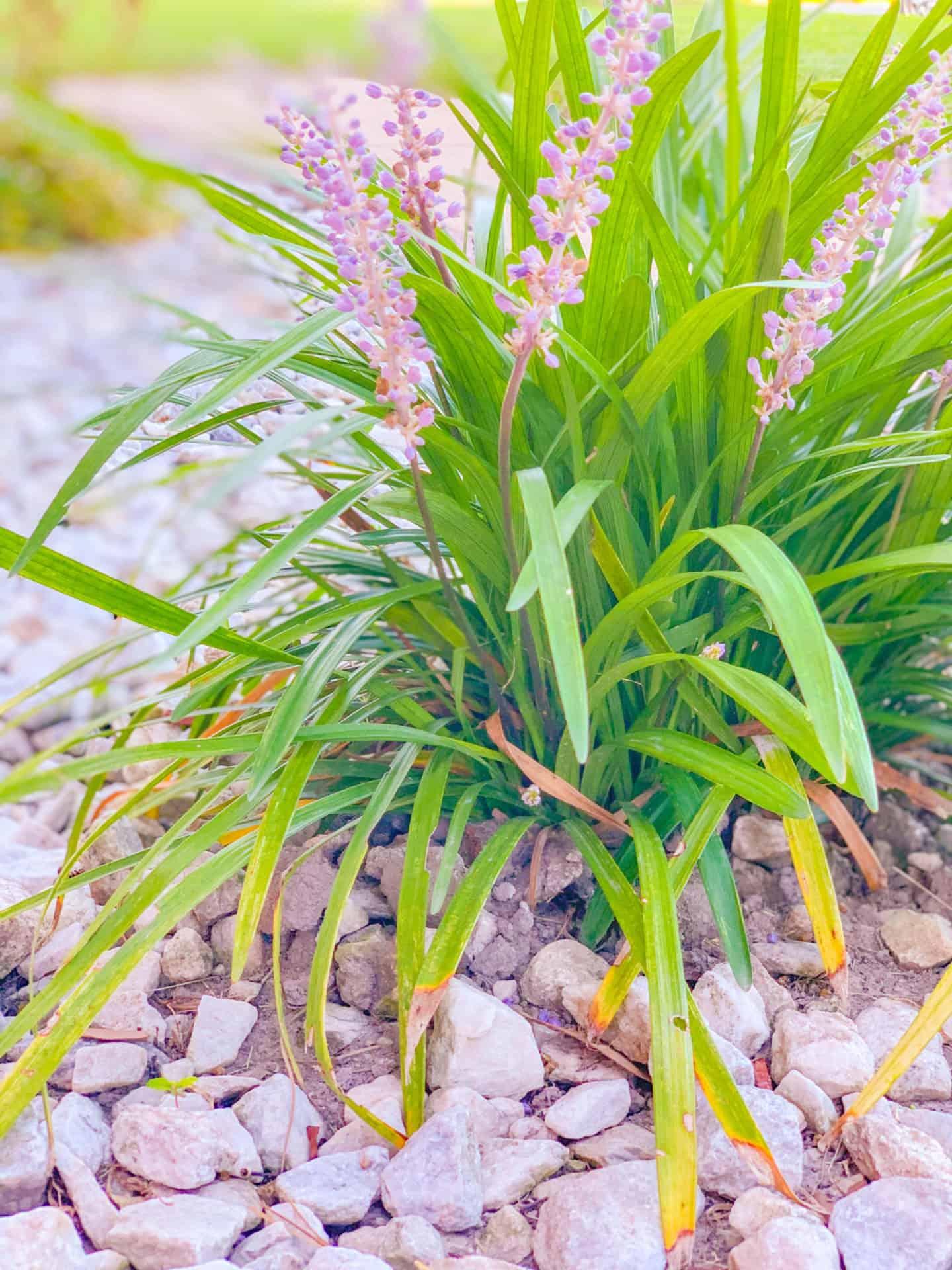 Best Ground Cover Plants Lilyturf