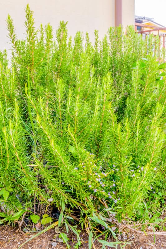 Best Ground Cover Plants Rosemary