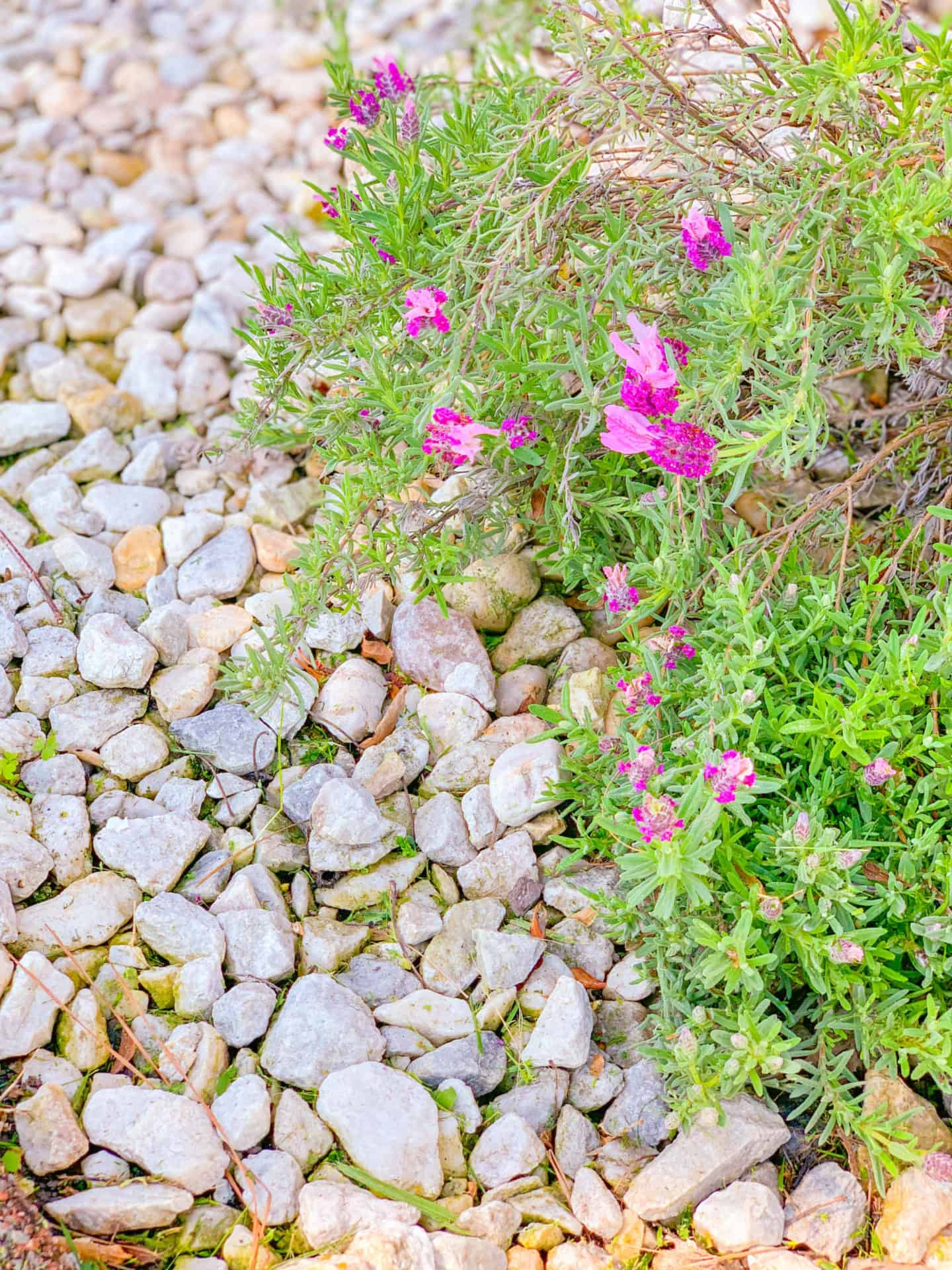 Gardening Lavender Plant