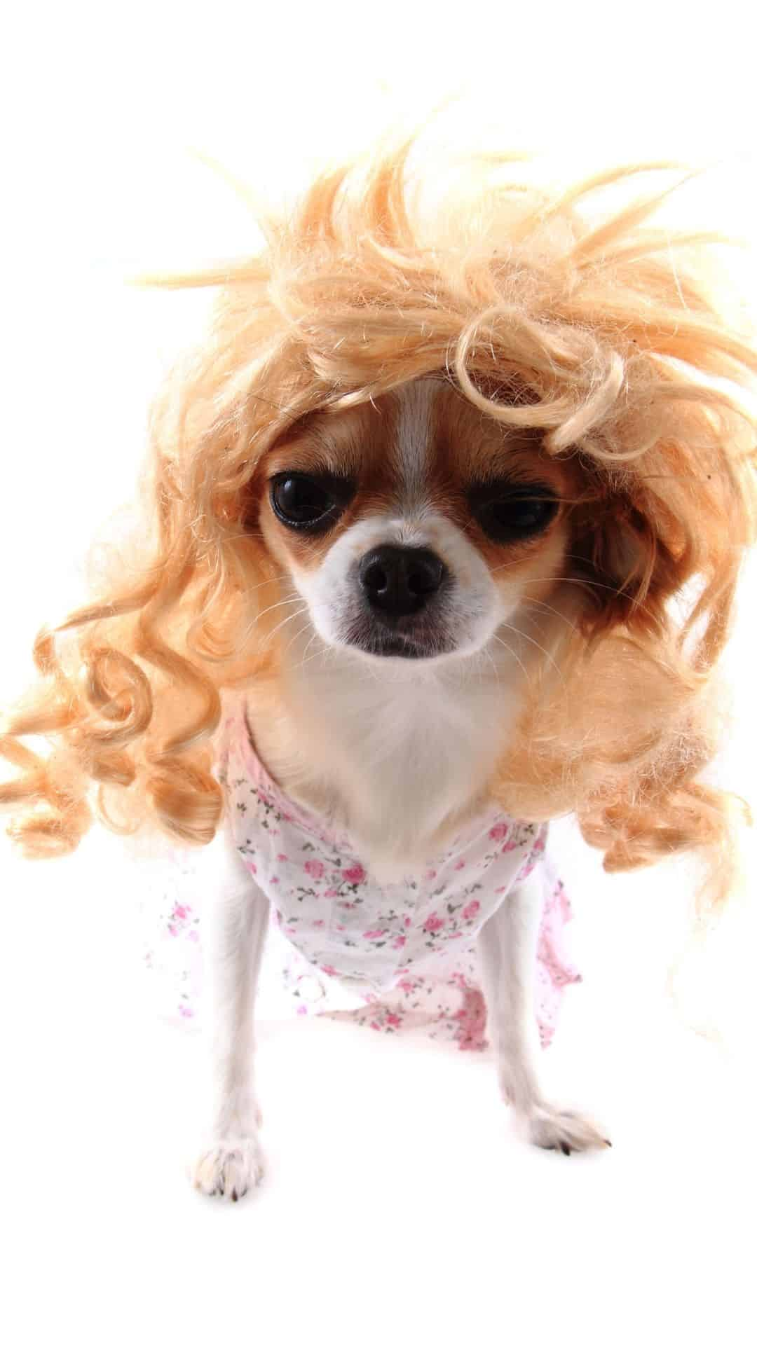 Blonde Wig Chihuahua Halloween Costumes