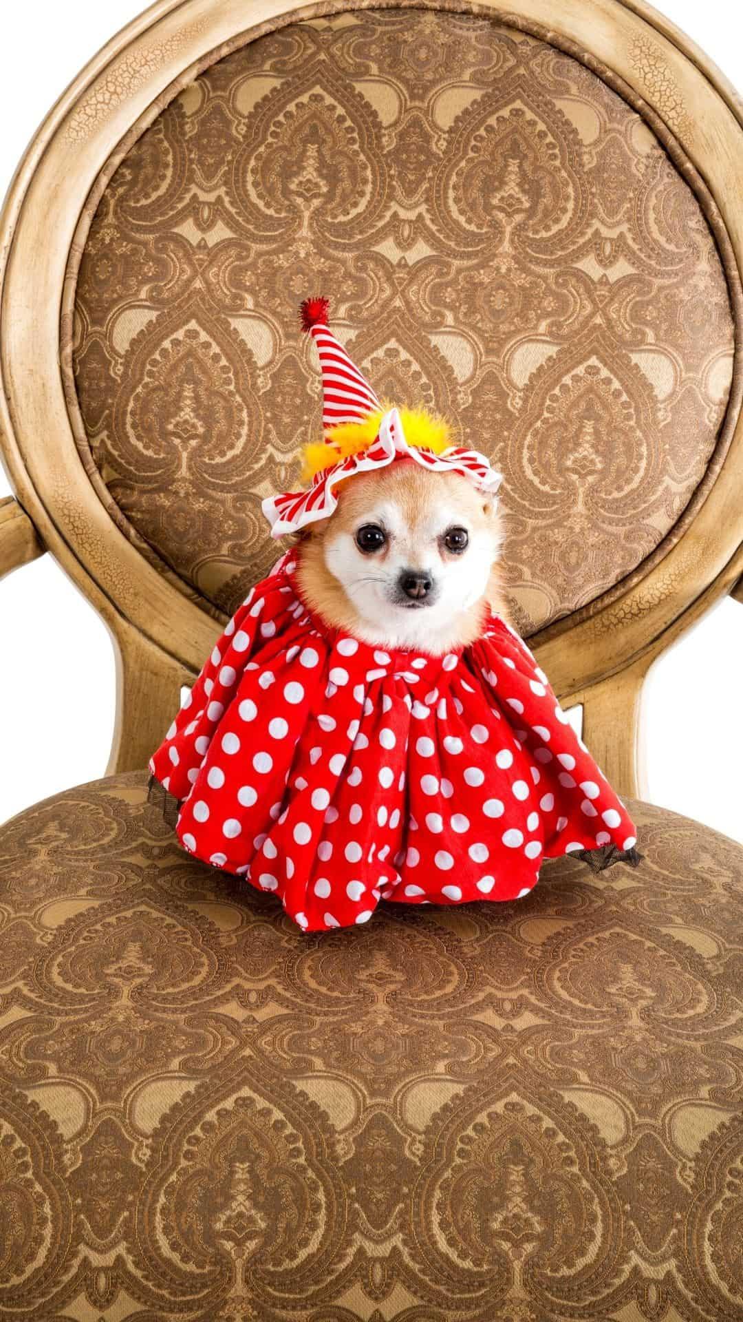 Chihuahua Halloween Costume Clown