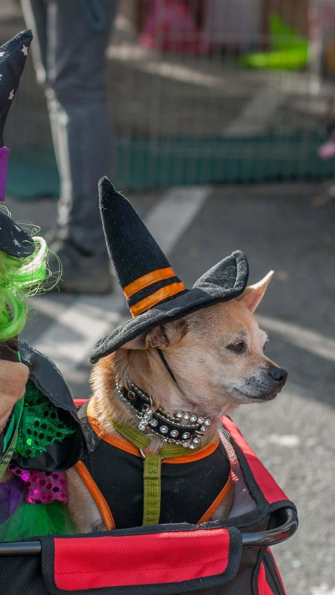Chihuahua Halloween Costume Witch Hat