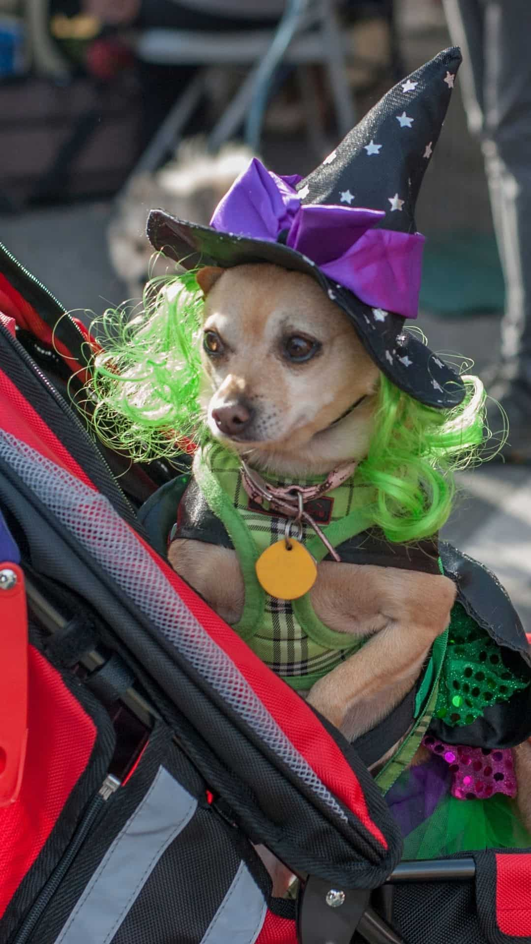 Chihuahua Halloween Costume Witch