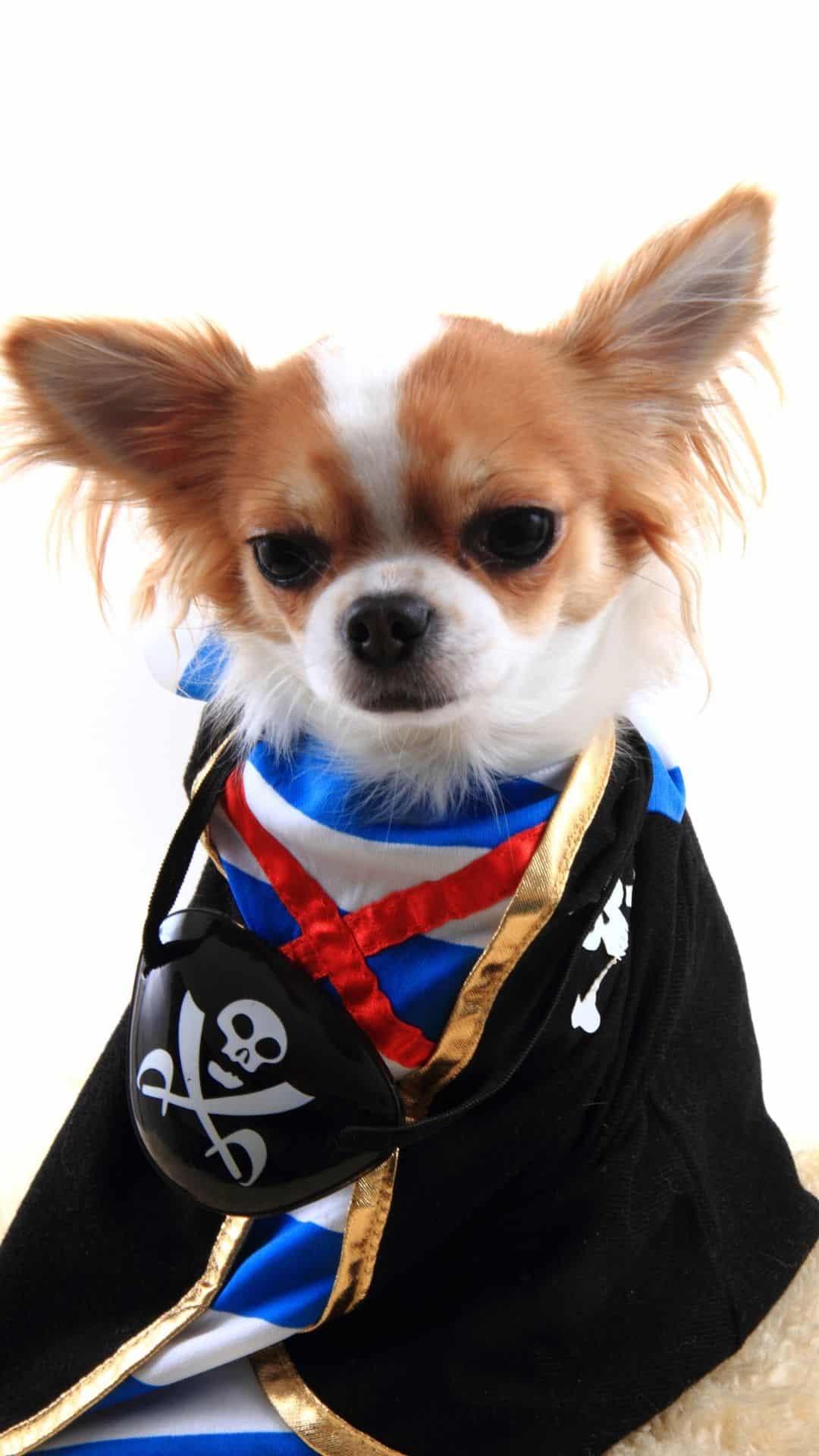 Chihuahua Pirate Halloween Costume