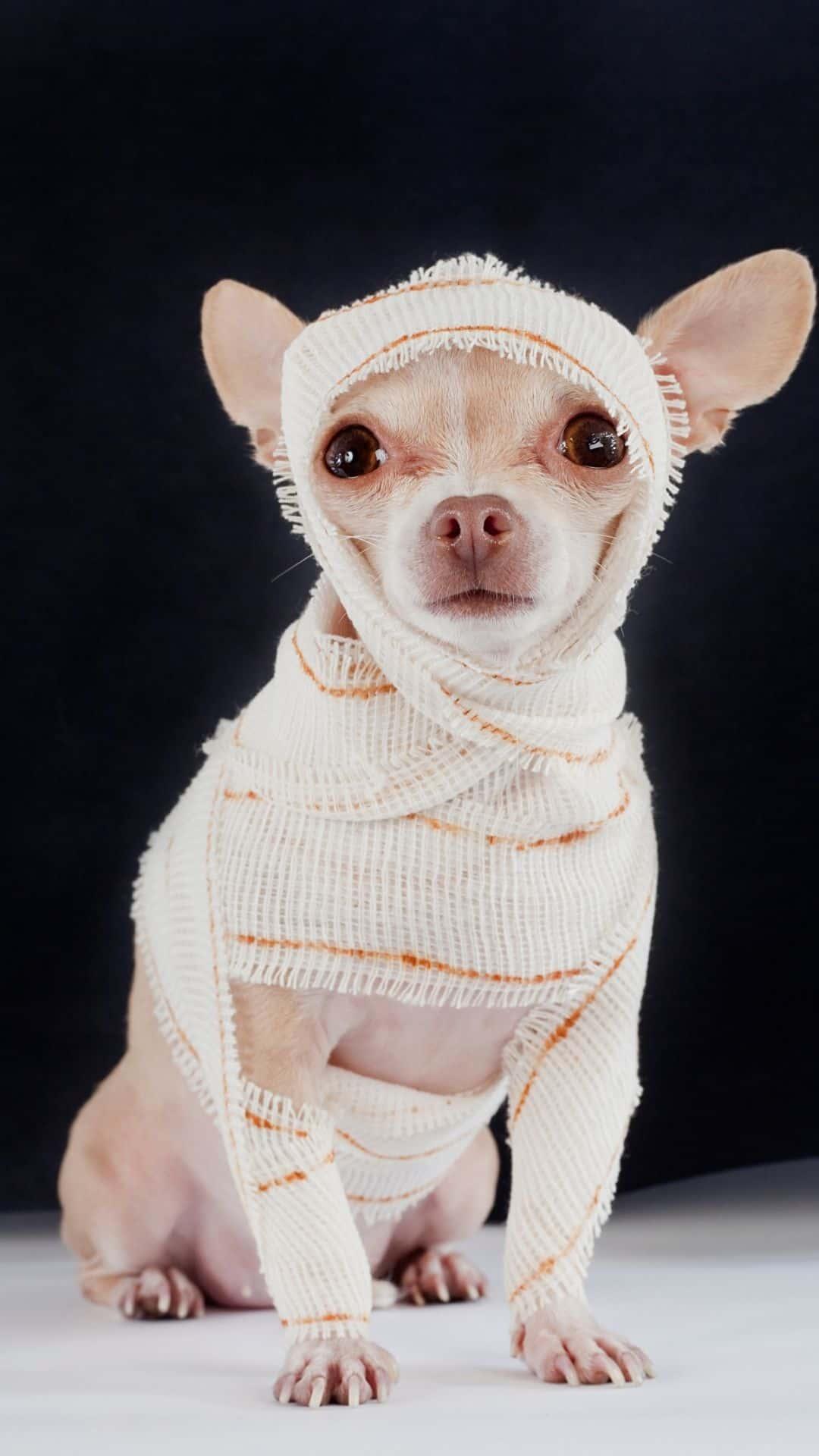 Mummy Chihuahua Halloween Costumes