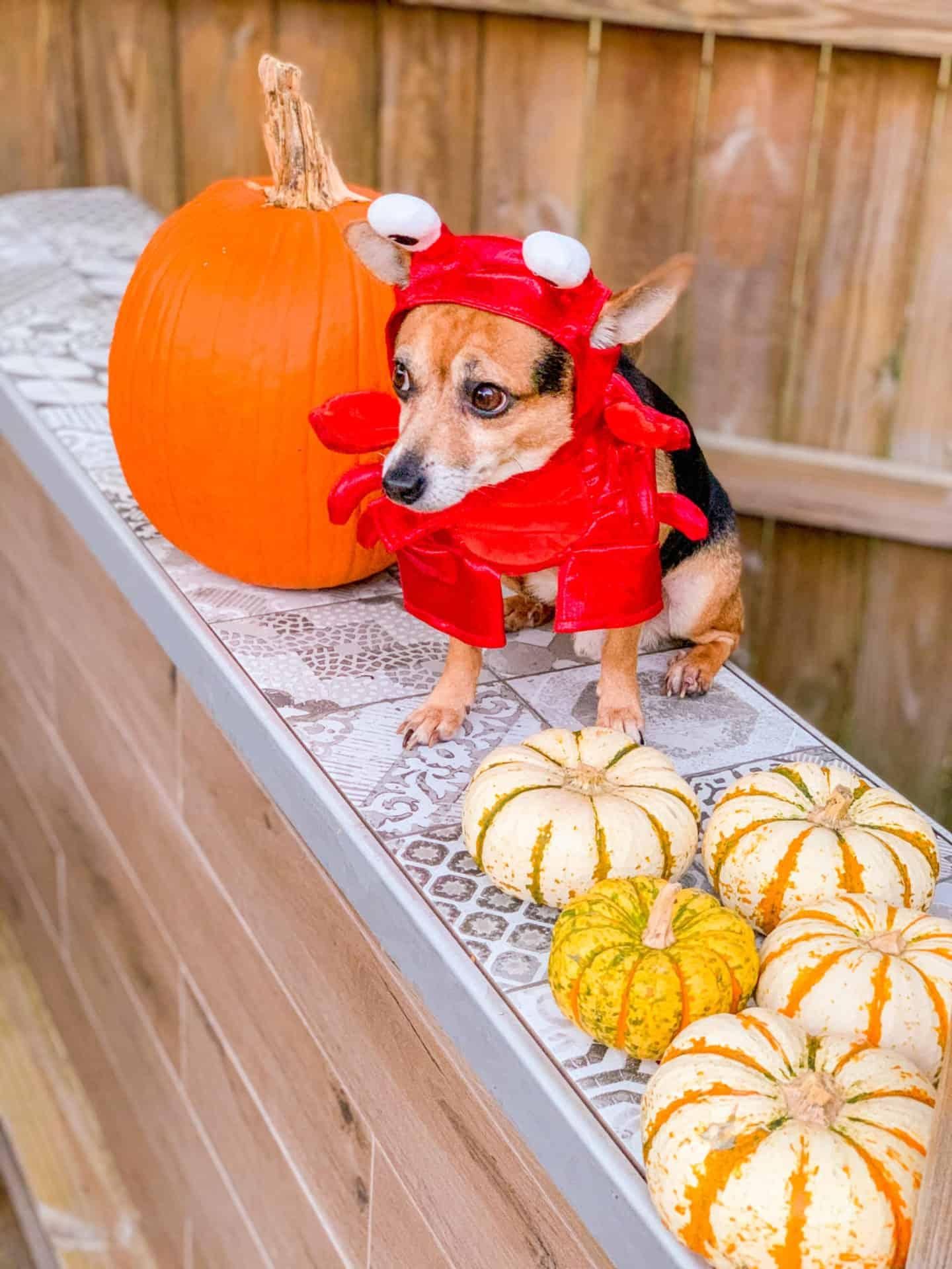 Shaunda Necole Prince George Is My Lobster Small Dog Halloween Costume