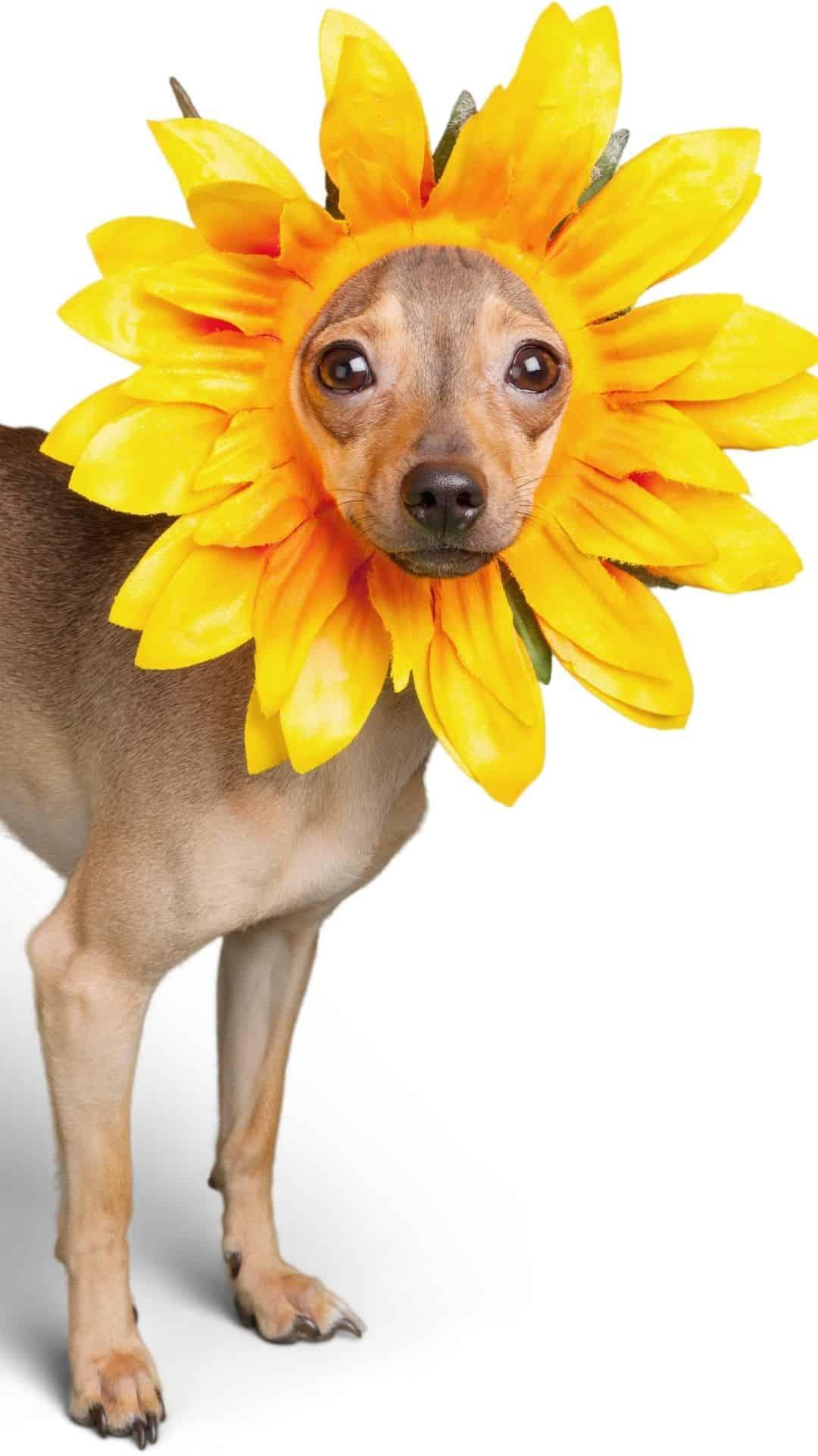 Small Dogs Daisy Halloween Costumes