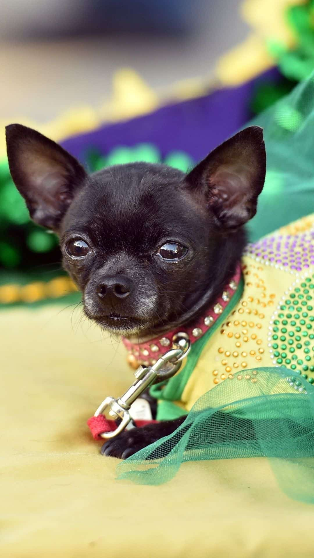 Small Dogs Mardi Gras Halloween Costumes