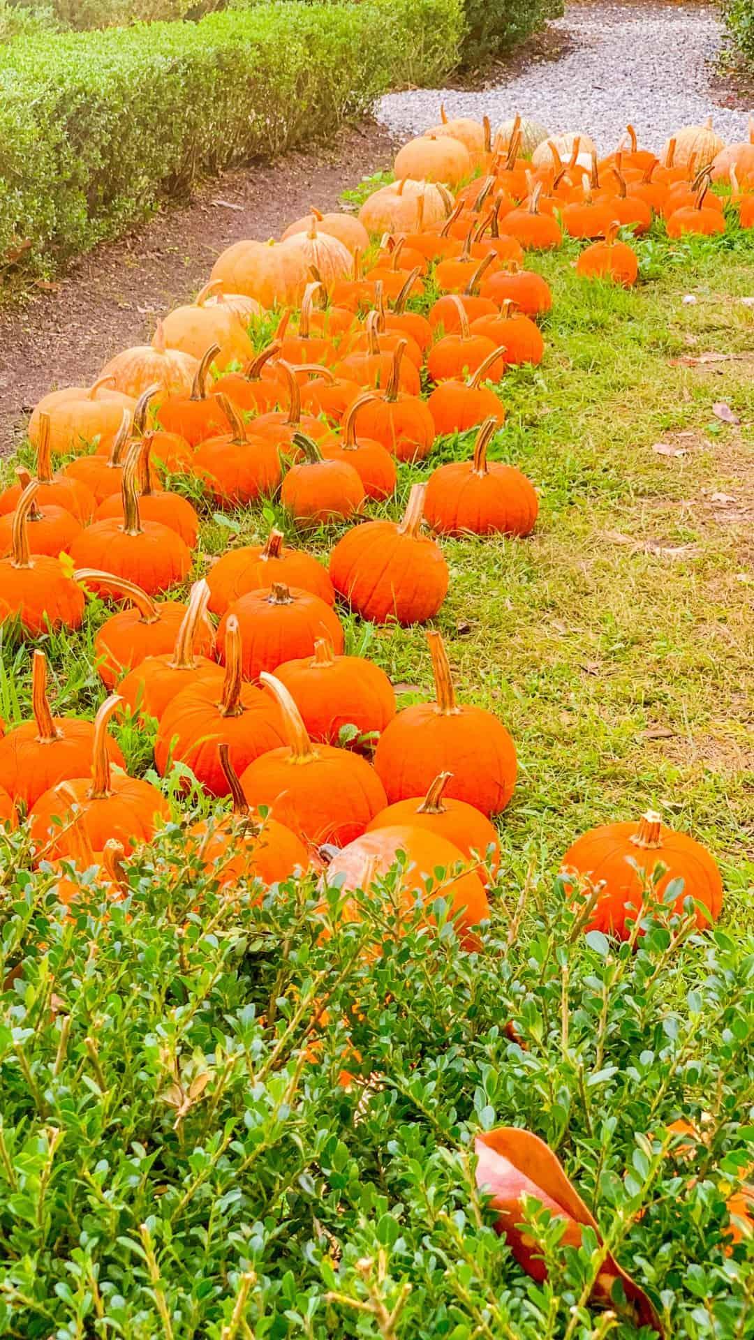 Fall Wallpaper iPhone Pumpkin Patch