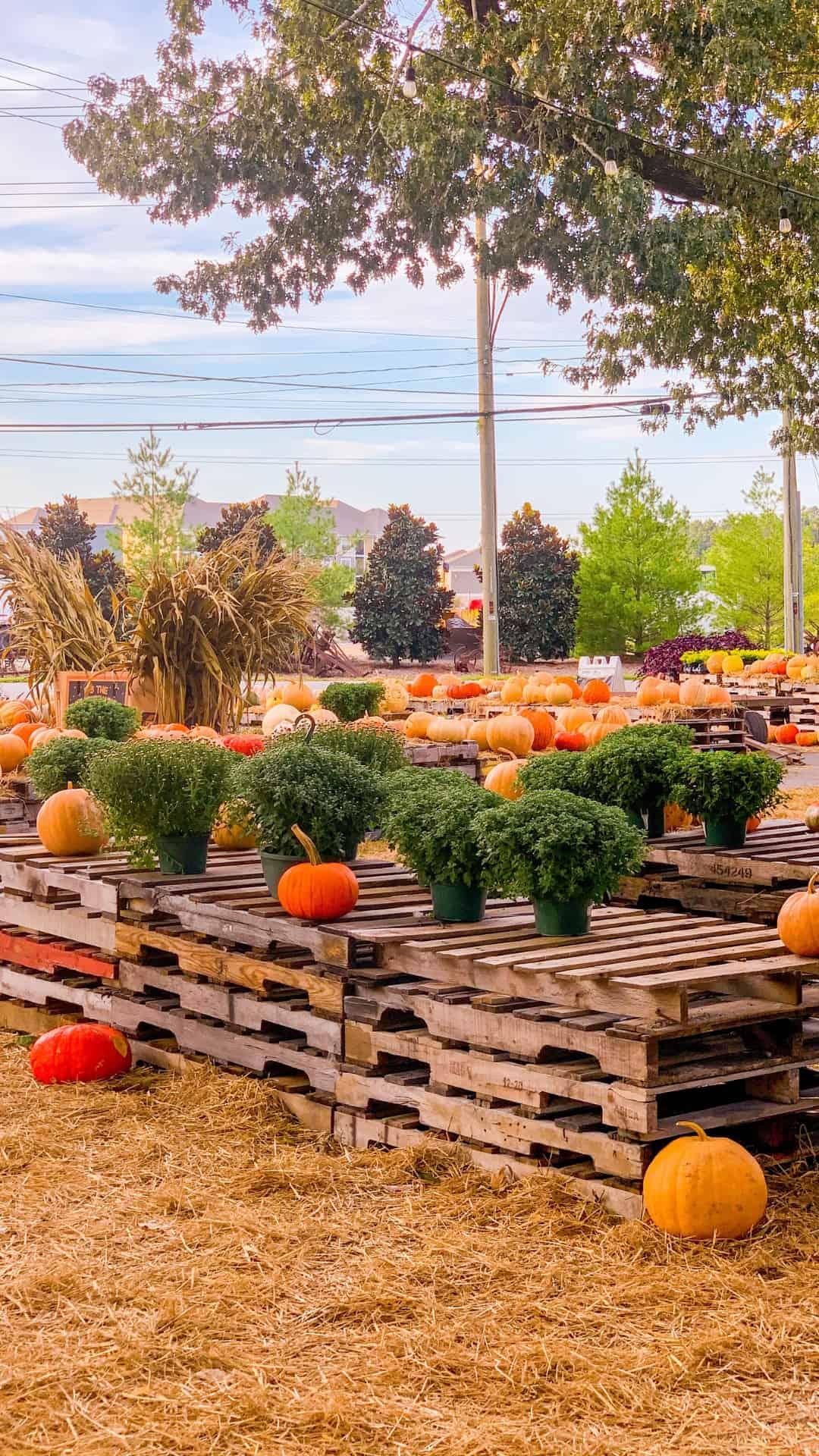 Fall Wallpaper iPhone Pallets Of Pumpkins