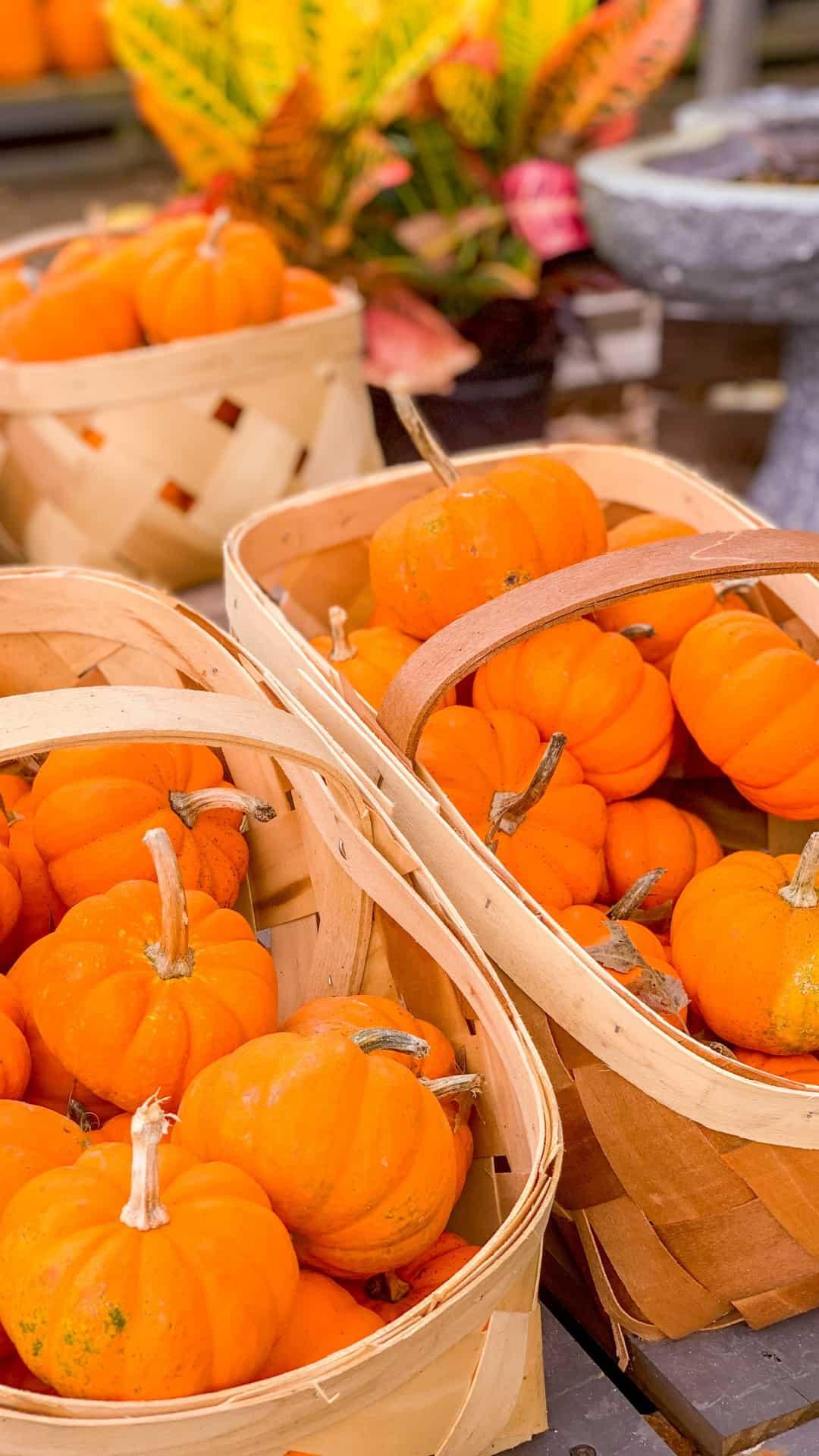 Autumn Wallpaper iPhone Aesthetic Petite Pumpkins